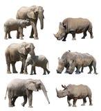 非洲大象和白犀牛或正方形有嘴犀牛的各种各样的姿势在白色背景 库存照片