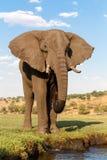 非洲大象在乔贝国家公园 库存照片