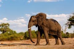 非洲大象在乔贝国家公园 免版税库存照片