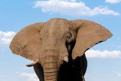 非洲大象在乔贝国家公园 免版税库存图片