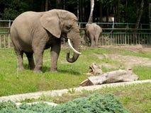 非洲大象在动物园里 库存图片