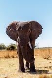 非洲大象在卡普里维运动场 免版税库存照片