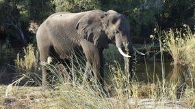 非洲大象在河 图库摄影