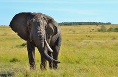 非洲大象在肯尼亚 免版税库存图片