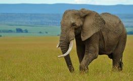 非洲大象在肯尼亚 库存照片