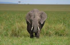非洲大象在肯尼亚 免版税库存照片