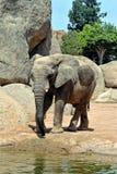 非洲大象在自然环境里 免版税库存图片