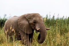 非洲大象在Etosha国家公园 免版税库存图片
