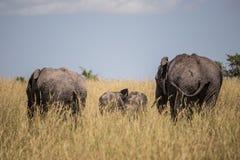 非洲大象家庭在马赛马拉国家公园(肯尼亚) 免版税库存图片