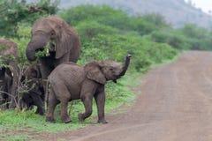非洲大象小牛南非 免版税库存图片
