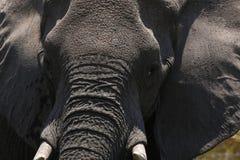 非洲大象强烈的片刻 免版税库存照片