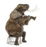 非洲大象执行,供以座位在凳子,被隔绝 免版税库存图片