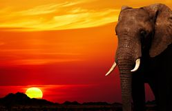 非洲大象日落 免版税库存图片