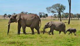 非洲大象游行 库存照片