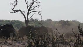 非洲大象牧群在非洲灌木的 影视素材