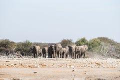 非洲大象牧群在Etosha国家公园接近一waterhole 免版税库存照片