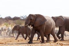 非洲大象牧群在waterhole的 免版税库存照片