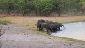 非洲大象牧群在waterhole的 股票视频