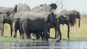 非洲大象牧群 股票视频