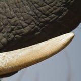 非洲大象的象牙 免版税图库摄影