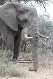 非洲大象睡觉 免版税库存图片