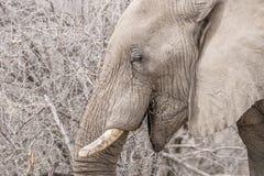 非洲大象纵向 库存图片