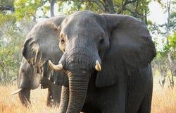 非洲大象通过在大型机关炮海岛私有比赛储备在Okavango三角洲,博茨瓦纳,非洲的草走 库存照片
