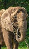 非洲大象题头 免版税库存照片