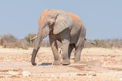非洲大象,非洲象属africana,盖用红色沙子 图库摄影