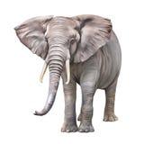 非洲大象,非洲象属africana 图库摄影
