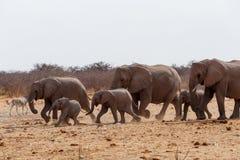 非洲大象仓促牧群对waterhole的 库存照片