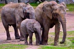 非洲大象系列 免版税图库摄影