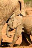 非洲大象婴孩 库存照片