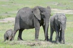 非洲大象(非洲象属africana)家庭 免版税库存图片