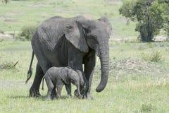 非洲大象(非洲象属africana)家庭 库存照片