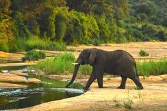 非洲大象(非洲象属Africana)横渡的Sab 库存图片