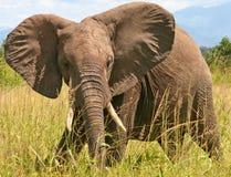 非洲大象 免版税图库摄影
