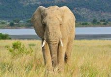 非洲大象 免版税库存照片