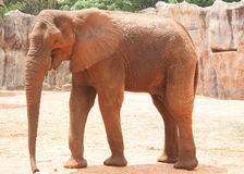 非洲大象 免版税库存图片