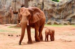 非洲大象2 免版税库存图片