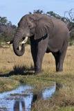 非洲大象- Okavango三角洲-博茨瓦纳 免版税图库摄影