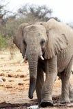 非洲大象waterhole 图库摄影