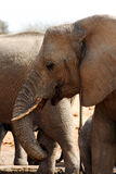 非洲大象waterhole 免版税图库摄影