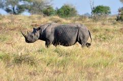 非洲大黑色五犀牛 库存图片
