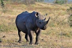 非洲大黑色五犀牛 免版税图库摄影