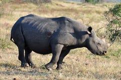 非洲大黑色五犀牛 库存照片