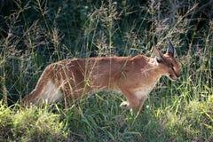 非洲天猫座或Caracal狩猎 库存图片