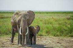 非洲女性大象和婴孩大象, Amboseli国家公园(肯尼亚) 免版税库存照片