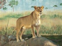非洲女性狮子纵向 图库摄影