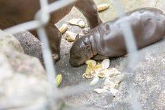 非洲小河马肯尼亚mara马塞语 免版税库存照片